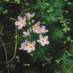 Moerings waterplanten Waterviolier (Hottonia palustris) zuurstofplant - 10 stuks