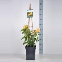 """Plantenwinkel.nl Engelse klimroos (rosa """"Golden Celebration""""®)"""