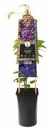 """Afbeelding van Plantenwinkel.nl Paarse bosrank (Clematis """"Jackmanii"""") klimplant - 70 cm - 1 stuks"""