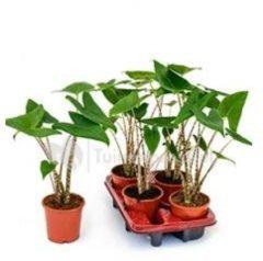 Groene Plantenwinkel.nl Alocasia zebrina XS kamerplant