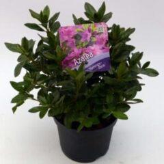 """Plantenwinkel.nl Rododendron (Rhododendron Japonica """"Konigstein"""") heester - 15-20 cm - 8 stuks"""